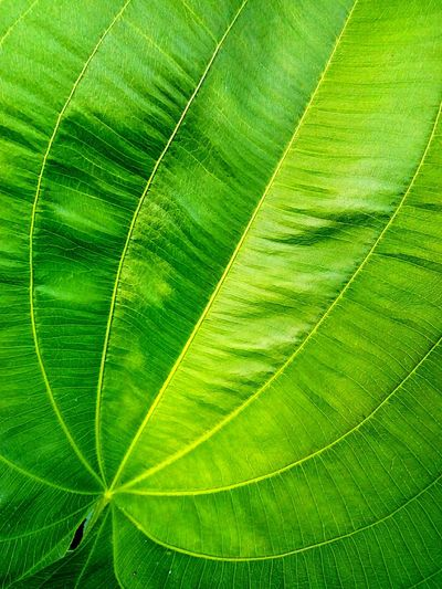 Leaf Leaves Leaves Collection Leaf Pattern Leaf Photography Nature Abstract Pettern Pettern Of Leaves Pattern And Color Leaves Close Up Leaf Color Leaf Collection Beauty Of Leaves Close Up Close Up Photography Leaves And Colors Leaves Photography Beauty Of Nature Leaves Texture Texture In Nature Leaf Texture Leaves Color Beautiful Leafใน Bang Sue, Thailand
