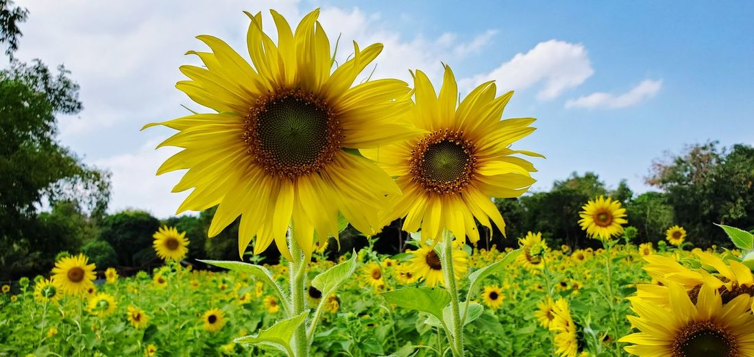 Close-up of yellow sunflowers on field against sky