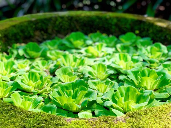 Greenville. Leaf Pond Cabbage Lettuce Green Color Growth Freshness Vegetable No People Agriculture Plant Close-up Day Outdoors Nature Beauty In Nature Greenhouse Food The Great Outdoors - 2018 EyeEm Awards