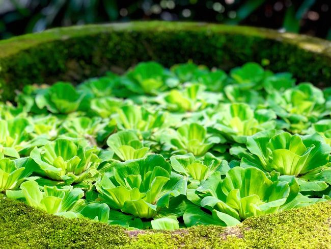 Greenville. Leaf Pond Cabbage Lettuce Green Color Growth Freshness Vegetable No People Agriculture Plant Close-up Day Outdoors Nature Beauty In Nature Greenhouse Food