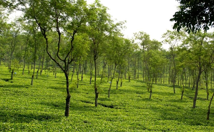 Green Garden... Wonosari Tea Plantation Landscape Green INDONESIA Nikon