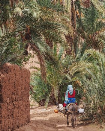 Riding home from the village Morocco Donkey Date Palms