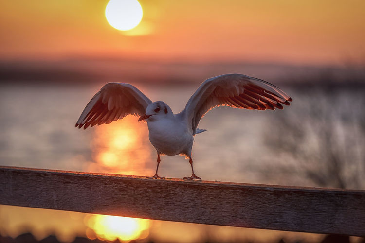 Just landed gull Bird Animal Themes Animal Vertebrate Animals In The Wild Animal Wildlife Spread Wings Sunset Flying One Animal Focus On Foreground Sky No People Nature Railing Outdoors Seagull Orange Color Animal Wing Gull Sea Gull EyeEmNewHere Steinhuder Meer Hannover Sun In Background