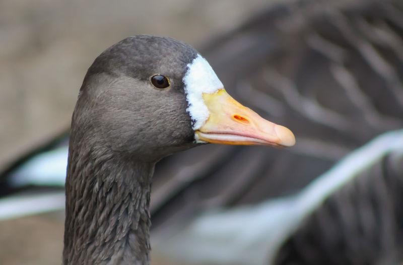 Gooses Animal