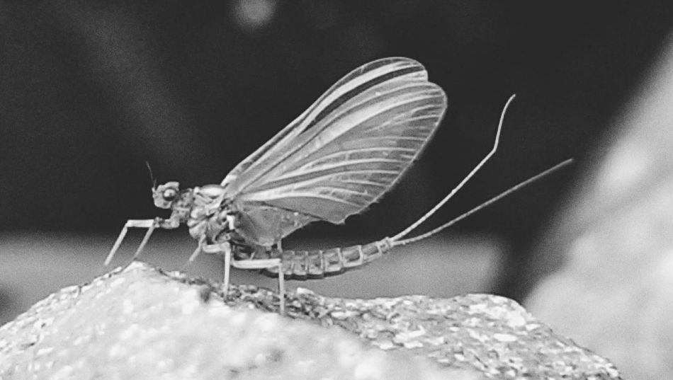 Closeup Zoom In Mayfly HTC One For The Love Of Black And White Short Life Hdr Edit EE_Daily: Black And White Nature_ Collection  Wildlife & Nature