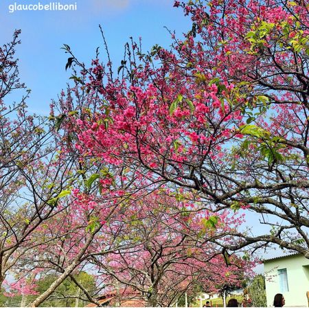 Festival of the Cherry Trees in SãoRoque , Brazil Tree Beauty In Nature Nature Blossom Cherry Tree São Roque Landscape Trees And Sky Trees Tree_collection  Cherry Blossom Tree Cherrytree Landscape_Collection Eye4photography  EyeEm Gallery