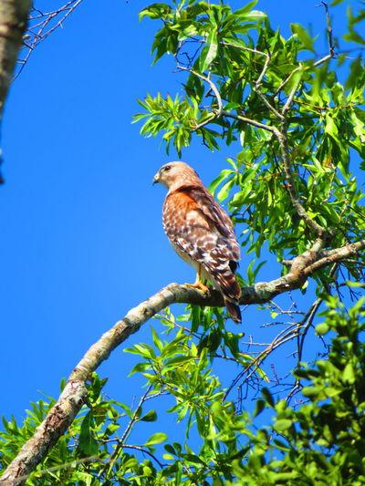Wild hawk on branch Florida Hawks Hawks Of Eyeem Hawk Hawk - Bird Bird Tree Perching Branch Blue Clear Sky Full Length Leaf Multi Colored Sky Tropical Bird Treetop