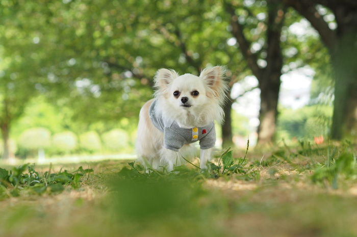 Dogs Of EyeEm Dog 愛犬 お散歩 木漏れ日 Green Verdure チワワ Chihuahua 新緑 Fresh Green Leaves
