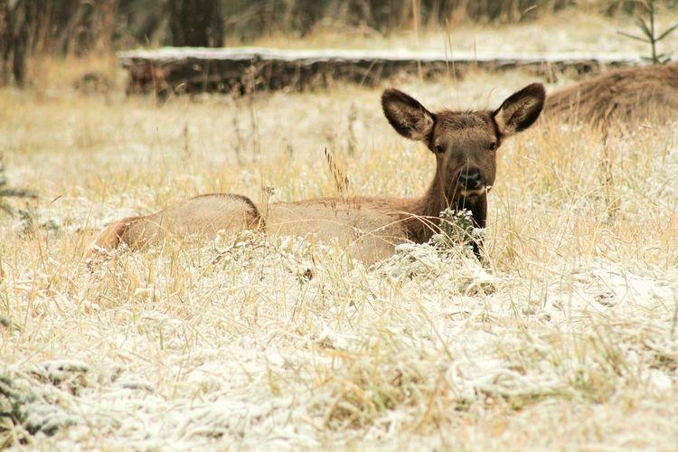 baby elk Canada