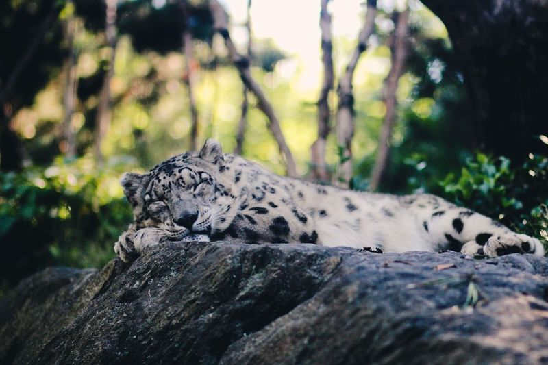 Close-Up Of Snow Leopard Sleeping On Rock In Forest
