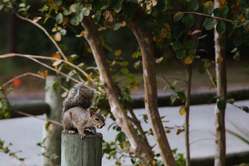 Squirrel on wooden post by trees