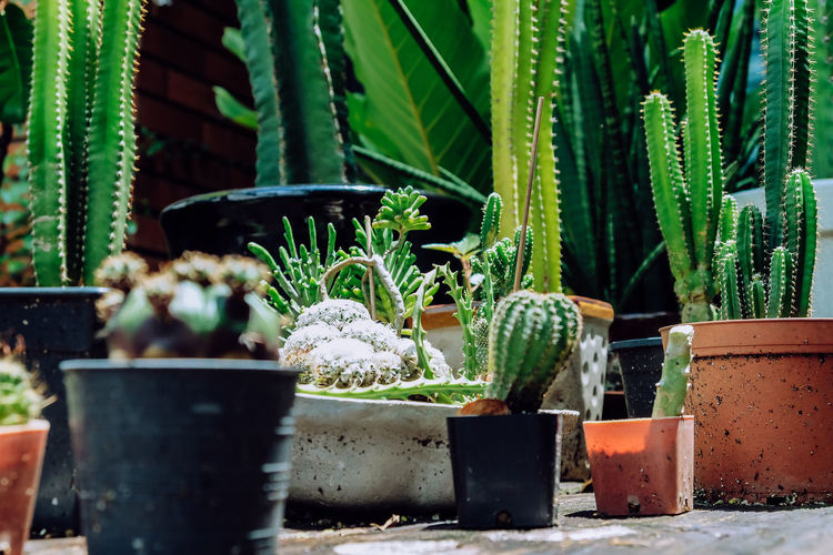 Close-up of potted cactus plants in yard