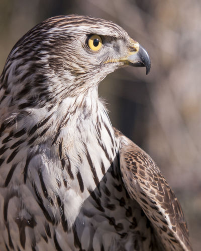 Animal Portrait Animals In The Wild Azor Bird Photography Cetreria Day Falconry Goshawk Nature No People One Animal Wildlife