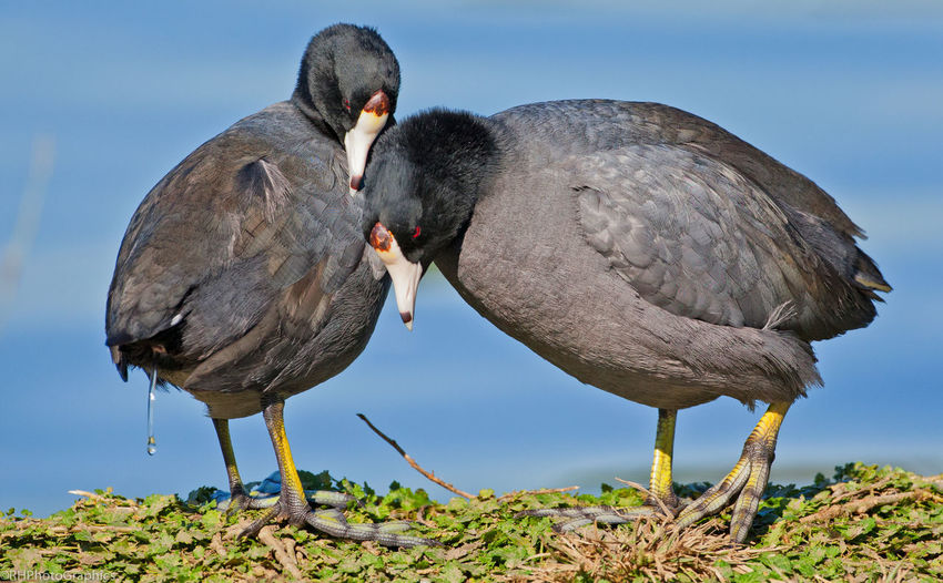 Close-up of coots on field by lake
