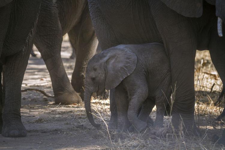 Elephant calf standing on land
