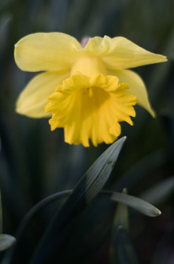 Flowering Plant Flower Fragility Vulnerability  Petal Freshness Beauty In Nature Yellow Plant Inflorescence Flower Head Close-up Growth Daffodil Focus On Foreground Nature No People Outdoors Pollen Day Contrasts Light And Shadow