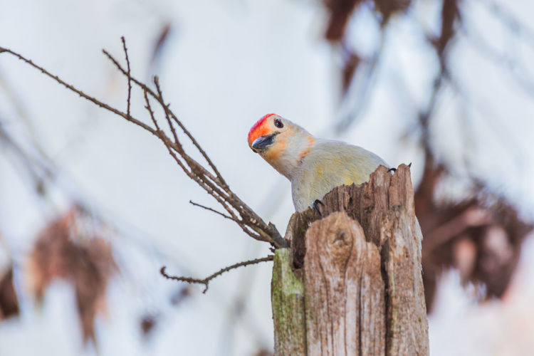 Red Bellied