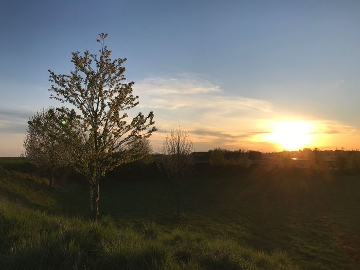 Plant Sky Sunset Beauty In Nature Growth Tree Tranquility Tranquil Scene Field Sunlight Nature Scenics - Nature Outdoors Idyllic Grass Landscape Sun