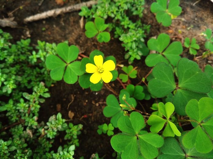 Water clover with its tiny blossom Petals🌸 Blooming Mobilephotography Garden Tiny Single Flower Green Plant Growing Nature Closeup Water Clover Clover Weeds Freshness Yellow Flower