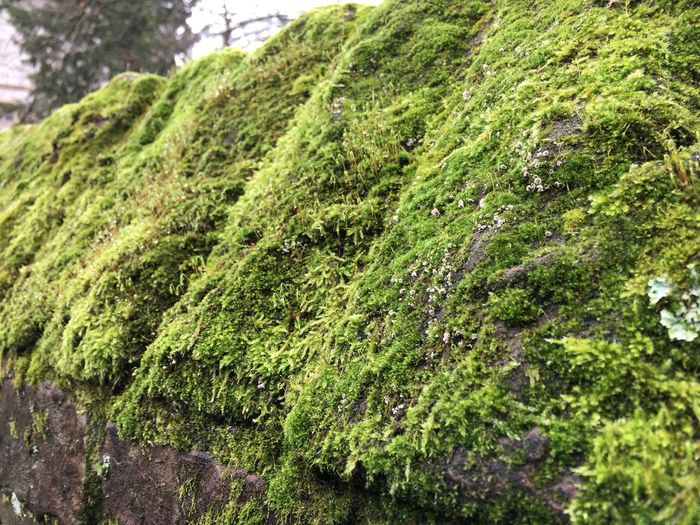 Old wall with moss Old Wall Stone Wall With Moss Close-up Green Color Moss Stone Wall Textured  Winter Moss