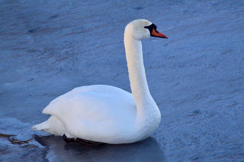 Svan Outdoors No People Swan One Animal Water Ice Bird Day Lake Magelungen Farsta Sweden Godaminnen