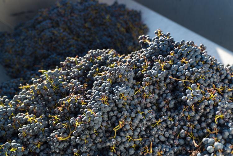 High angle view of grapes at vineyard