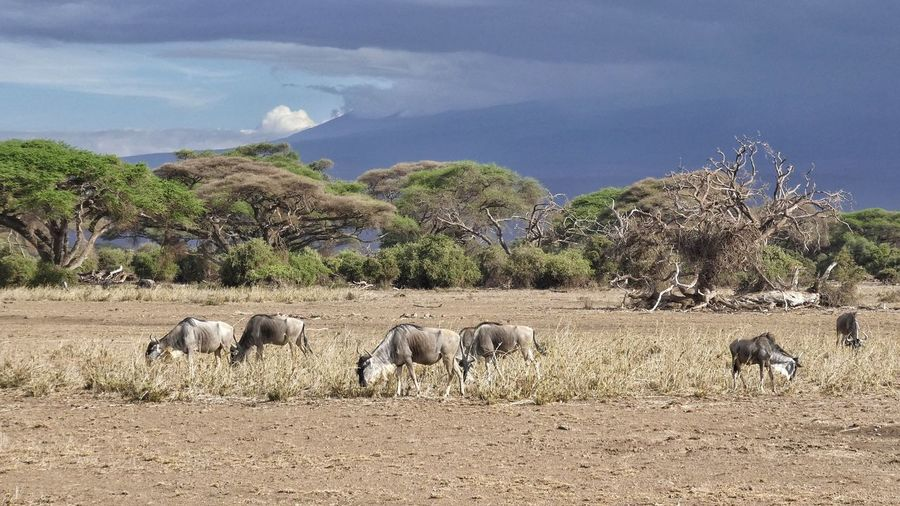herd of grazing wild beasts in front of scenic landscape AmboseliWildlifeReserve Amboseli Kenya Gnus Wild Beasts Herd Of Wild Beast Scenic Landscapes Trees In Background Scenic Sky Travelling Safari Adventure Safari Animals Grazing Animals EyeEm Nature Lover EyeEm Gallery EyeEm Selects EyeEm Best Shots - Nature Animals Together Animal Themes Large Group Of Animals Mammal Outdoors Animals In The Wild Domestic Animals Nature No People Landscape Animal Wildlife Tree Beauty In Nature An Eye For Travel
