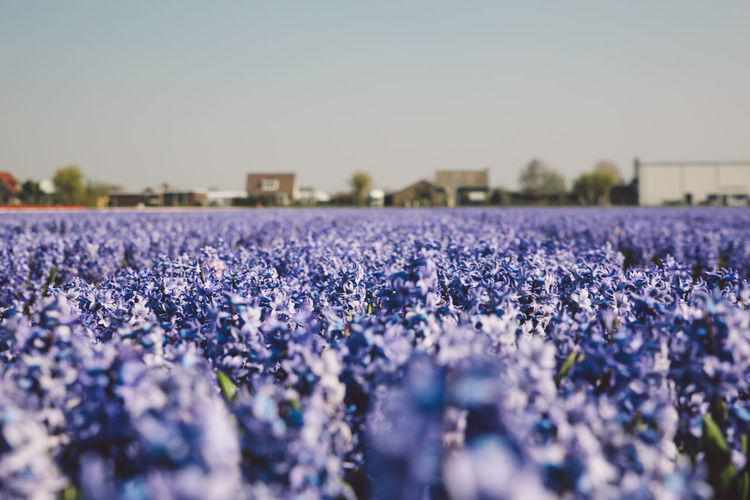Agriculture Beauty In Nature Close-up Crocus Day Field Field Fields Flower Flower Head Flowers Fragility Freshness Growth Hyacinth Nature Netherlands No People Outdoors Plant Rural Scene Sky Spring Springtime Decadence