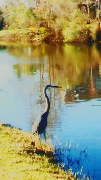 BlueHeron💞MagnificentBird💞 Animals In The Wild One Animal Water Animal Themes Animal Wildlife Reflection No People Nature Outdoors Day Fulllength Serene Outdoors Reflections In The Water EyeEmBestShot's Eyeemnaturelover Eyeembestshot_landscape Animals In The Wild Tree WildBird_Photography