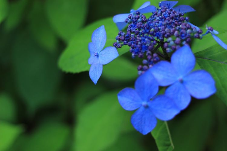 June Hydrangea Japan Flower Beauty In Nature Fragility Growth Petal Flower Head Nature Purple Freshness Blue Leaf No People Close-up Plant Focus On Foreground Outdoors Day Blooming