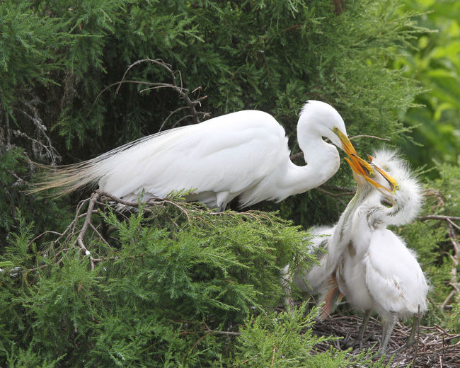Animal Themes Animal Wildlife Animals In The Wild Beak Bird Close-up Day Egret Egret Feeding Baby Field Grass Nature No People One Animal Outdoors Swan White Color