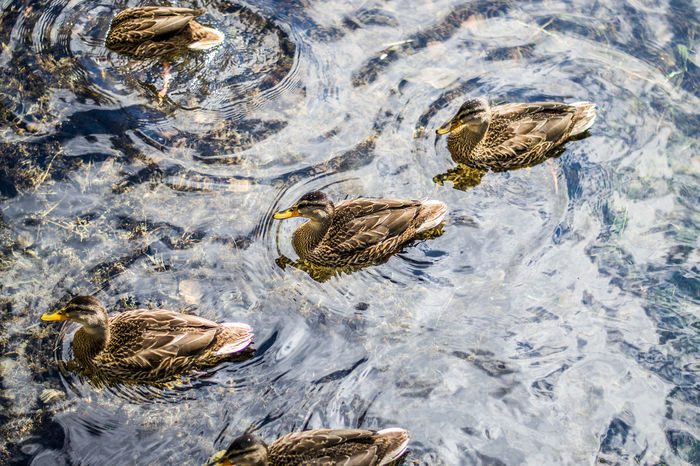 Animal Behavior Animal Themes Animals In The Wild Beauty In Nature Day Ducks Focus On Foreground High Angle View Lake Nature No People Non-urban Scene Outdoors Swimming Tranquility Water Wildlife Zoology