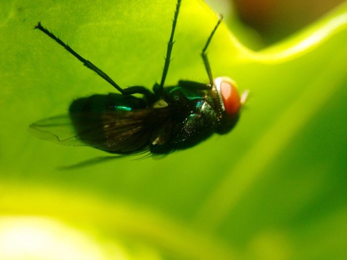 Insect Animal Themes One Animal Animals In The Wild Close-up Nature Plant No People Outdoors Day Housefly Fly Under Leaf Green Macro Softness