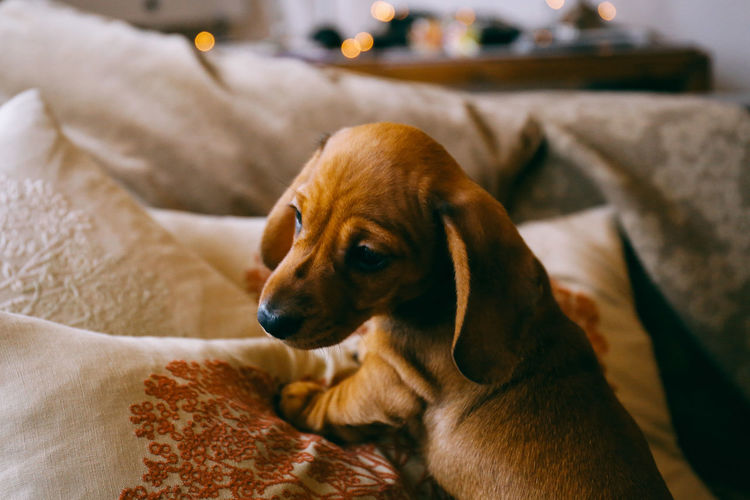 Puppy Love Adorable Animal Love Animal Themes At Home Bokeh Close-up Cute Dachshund Dachshund Puppy Day Dog Domestic Animals EyeEmNewHere Indoors  Interior No People One Animal Pet Pet Photography  Pets Pets At Home Puppy Relaxation Sausage Dog Sofa Pet Portraits