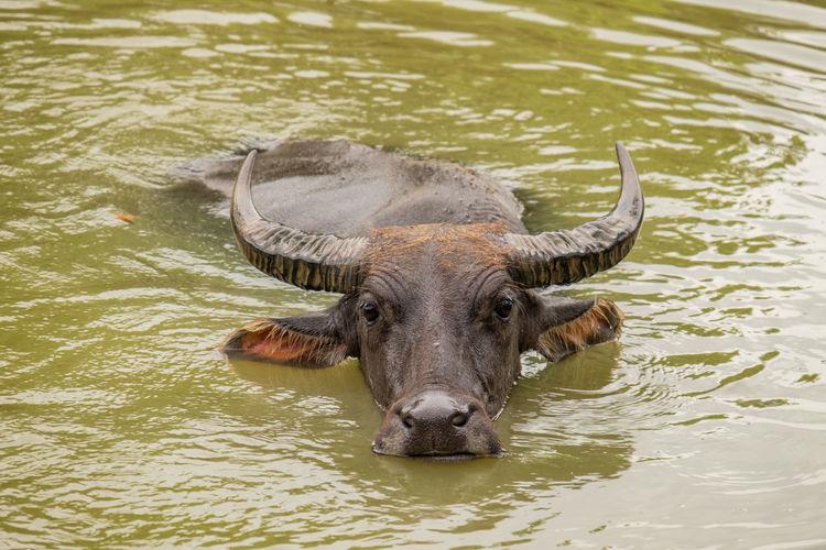 Portrait of water buffalo in lake