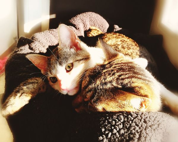 Cats Of EyeEm Pets Domestic Cat Animal Themes Cute Indoors  SnuggleBuddies Domestic Animals