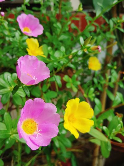Pink flower Petal Nature Plant Pink Color Beauty In Nature Flower Head Fragility Yellow Growth Multi Colored Peony  Leaf Close-up Freshness Morning Portulaca Portulaca Grandiflora Common Purslane, Verdolaga, Pigweed, Little Hogweed Pusley