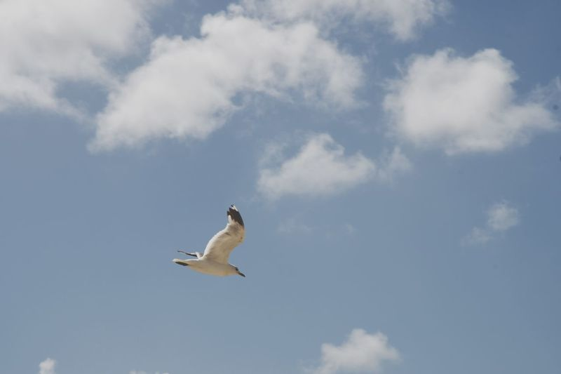 Le Touquet seagull Le Touquet EyeEm Selects Cloud - Sky Sky Flying Animal Themes Animal Animals In The Wild Animal Wildlife No People One Animal Mid-air Beauty In Nature Nature Spread Wings Low Angle View Outdoors Bird Vertebrate Day White Color Motion