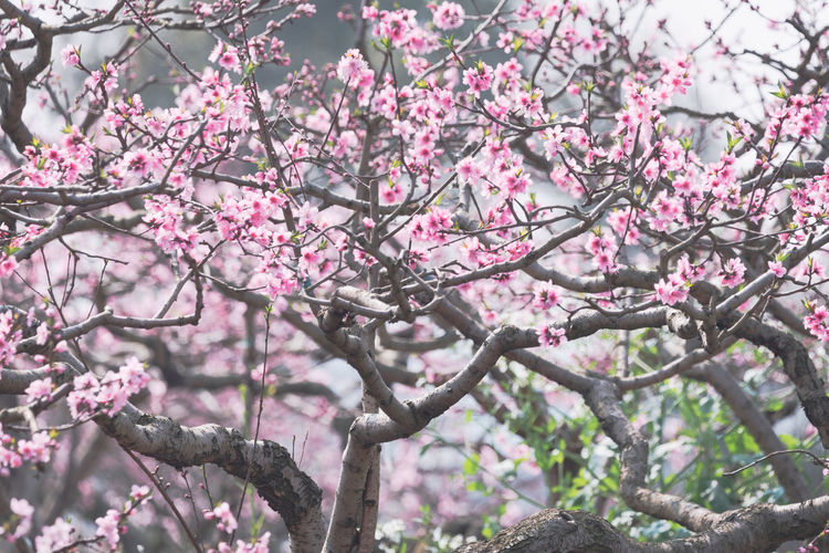 peach tree Blossom in chengdu longquanyi Plant Tree Pink Color Growth Flowering Plant Branch Flower Beauty In Nature Blossom Fragility Springtime Freshness Nature Day Low Angle View No People Vulnerability  Focus On Foreground Outdoors Cherry Blossom Cherry Tree Spring Peach Tree Peach Blossom Peach Color Pink Flower