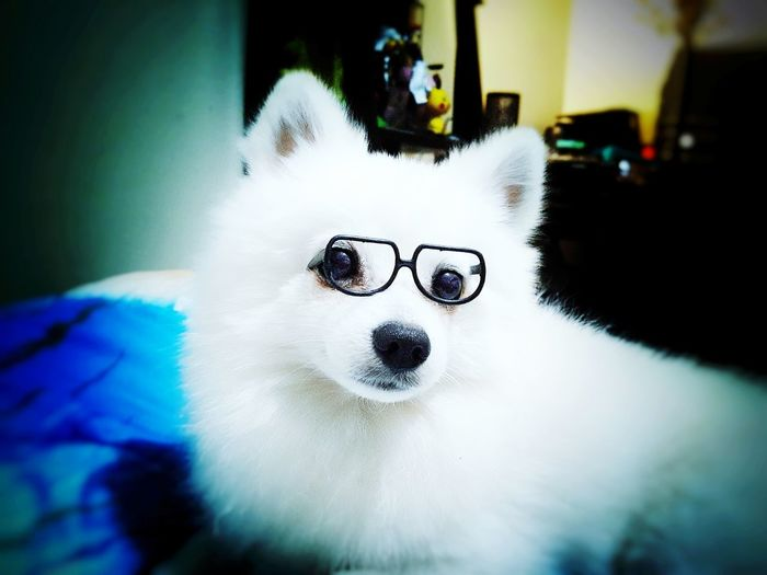 My dog seems professional than me. Pets Close-up Animal Themes Domestic Animals Indoors  One Animal No People Mammal Dog Portrait Day Dogs Of EyeEm White Color Shiro  Dog With Glasses KAWAII Pomeranian Dog Portrait EyeEmNewHere