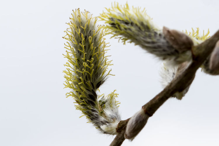 Sallow catkins Beauty In Nature Catkin Catkins Close-up Flowers Focus On Foreground Fragility Freshness Growth Nature Sallow Spring Spring Flowers Stem Wild Flowers Wild Flowers Bloom Woodland Flowers
