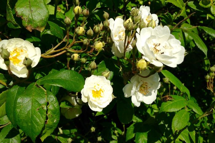 Rambling Rector rose - detail. Growing Our Own
