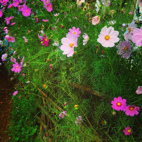 Beauty In Nature Close-up Colorful Field Flower Flower Head Flowering Plant Fragility Freshness Grass Green Color Growth High Angle View Inflorescence Land Nature No People Outdoors Petal Pink Color Plant Pollen Purple Springtime Vulnerability