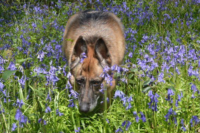 Take time to smell the flowers 😅 A Walk In The Woods Flowerporn No Filter, No Edit, Just Photography A Carpet Of Bluebells Bluebells Bluebell Wood Spring Flowers Nature Photography Nature On Your Doorstep German Shepherd Alsation Dog And Flowers Dogwalking German Shepherd Enjoying The Flowers No Filter No Edit Just Photography Sunshine Pet Portraits