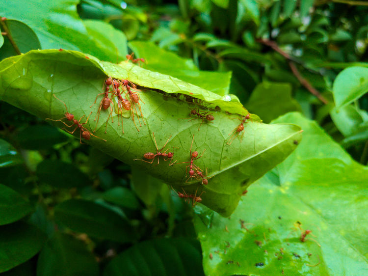 The ants are building a nest. Animal Themes Animals In The Wild Beauty In Nature Close-up Day Focus On Foreground Green Color Insect Leaf Nature No People Outdoors Unity Unity Is Vision. UnityIsPower Group Ant Sixlegs Plant Leafs Nest Nest Building Building Build