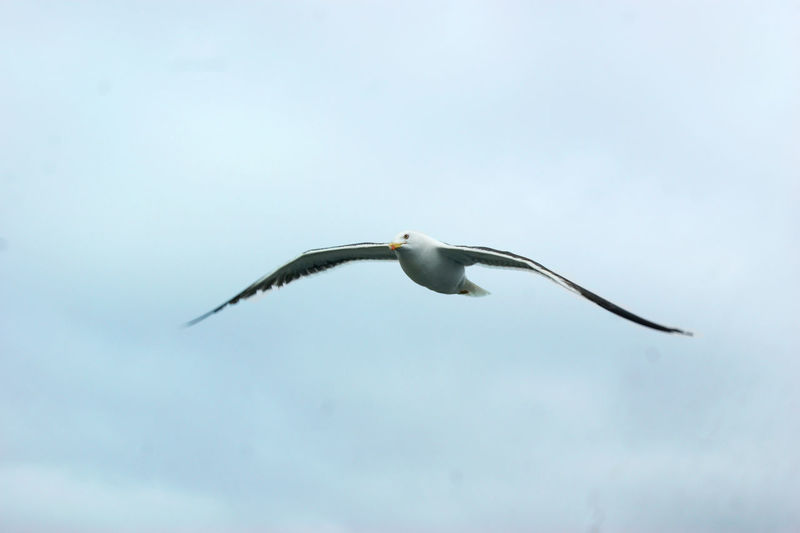 sea gull flying in the sky with spread wings Animal Themes Animal Wildlife Animals In The Wild Bird Day Flying Flying Seagull Gray Heron Low Angle View Mid-air Nature No People One Animal Outdoors Sea And Sky Sea Bird Seagull Sky Spread Wings