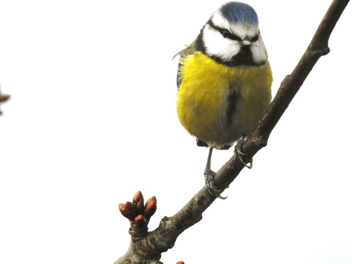 Bird Animal Wildlife Perching Winter Snow Animals In The Wild Branch Wilderness Cold Temperature Tree Nature Outdoors No People Day Beauty In Nature Close-up Beauty In Nature Tomtit Bluetit