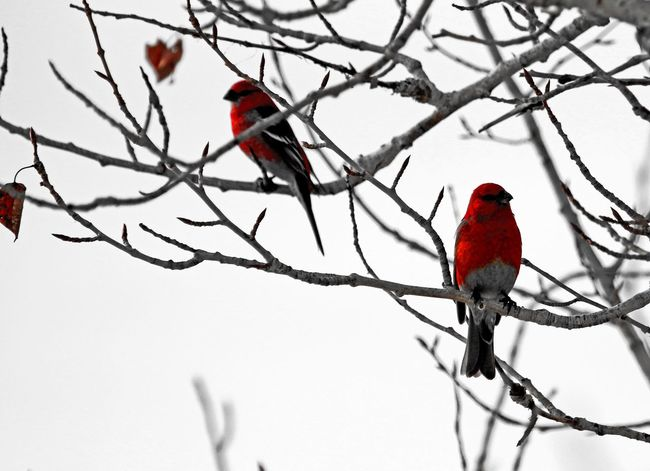 Perching Bird Animal Themes Bare Tree Winter Animal Wildlife Branch Red Snow Animals In The Wild Cold Temperature Tree Outdoors Beauty In Nature No People Day Nature Grosbeak Beauty Winter Canada Calm Scenics White Background Frozen Nature