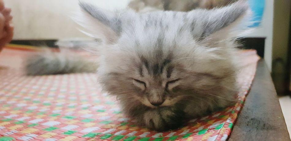Leo là tên mình Pets Portrait Feline Domestic Cat Looking At Camera Whisker Sitting Close-up