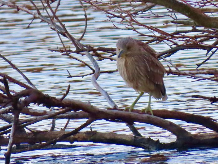 Juvenile night heron perched atop a bare tree branch over the water birdwatching Birds of EyeEm beauty in nature animal themes outdoors EyeEm nature lover Animal Wildlife One Animal Tree Water No People